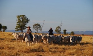 Droving cattle across the black soil plain Diamantina TSR, Queensland. Credit: Steve O'Connor