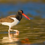 The American Oystercatcher, a vibrantly-colored bird seen along the Atlantic Coast. Credit: William Majoros