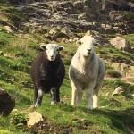 Herdwick Sheep Lake District National Park Credit: Brenda Barrett