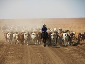 Tailing a mob, Brigalow, Queensland, 2009. Credit: Steve O'Connor