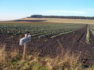 Ebey's Landing cabbage field. Photo by Mitch Richards.