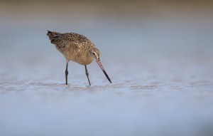 The Marbled Godwit, a large shorebird. Credit: William Majoros