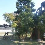 Ancient Juniper  Seoul South Korea Courtesey Stuart Read