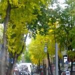 Ginko Lined Streets  Seoul South Korea Courtesey Stuart Read